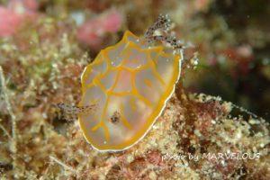 キスジカンテンウミウシの幼体